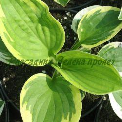 Hosta, Funkia - сорт Brim Cup (Хоста), Liliaceae